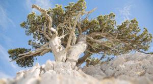 Parco del Pollino, l'albero più vecchio d'Italia