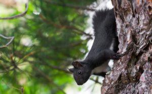 scoiattolo-nero-calabrese
